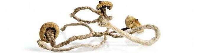 dried magic mushrooms for microdosing