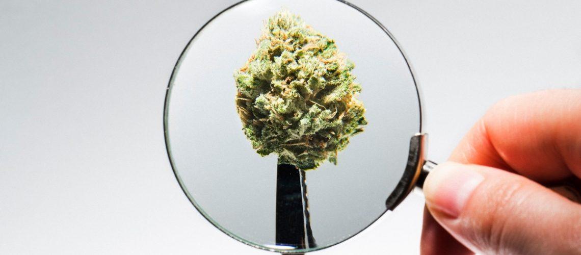 Cannabis under a microscope